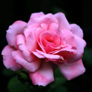 Miniature Pink Beauty Rose