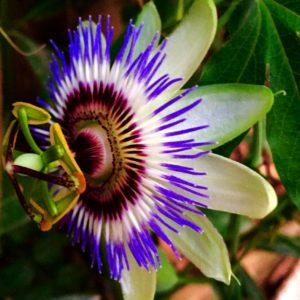 Passiflora caerulea flower image