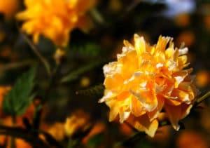 Yellow tree flower