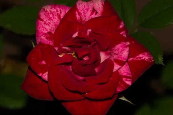 Miniature Rosa Mundi