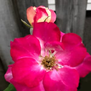 Double delight rose image