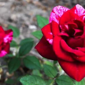 Rosa mundi rose image