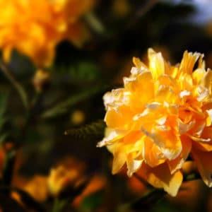 Pleniflora Flower
