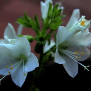 White Polemonium Caeruleum Flower