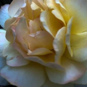 Yellow Happy Child Rose
