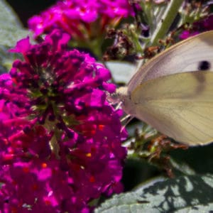 Butterfly bush flower image