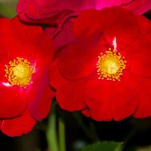 Rosa dusky maiden image