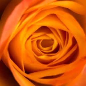 Tea Rose-Catherine mermet rose image