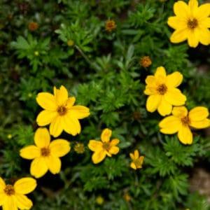 Tickseed flower image
