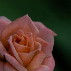 Warm wishes rose image