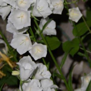 White bellflower image