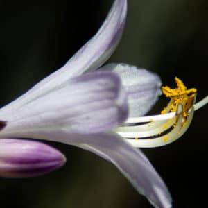 Hosta flower image