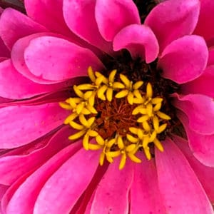 Zinnia flower image