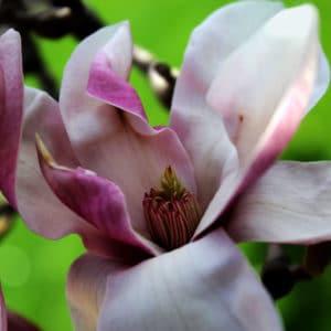 Magnolia flower image