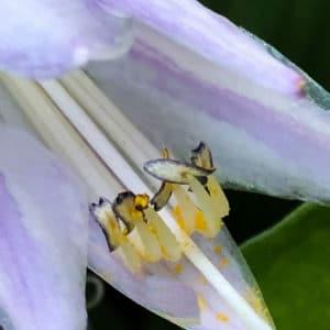 White Hosta flower image