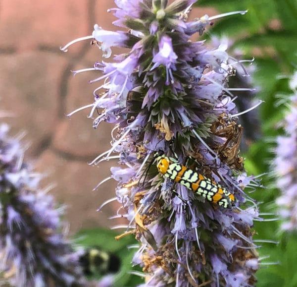 Ailanthus Webworm moth image