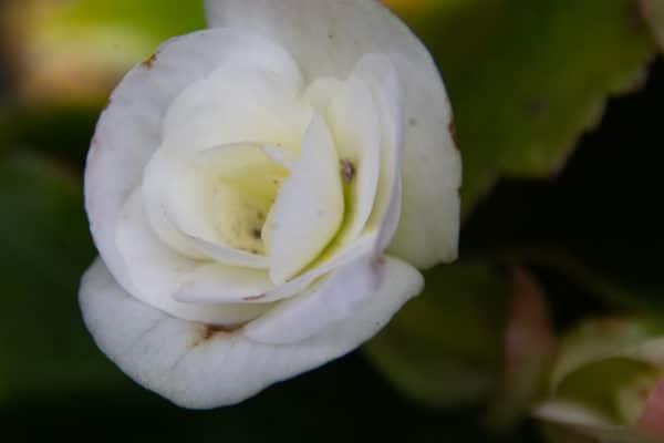 Begonia flower image