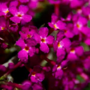 Butterfly bush flowers image