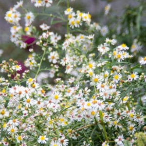 Daisy Fleabane flower image
