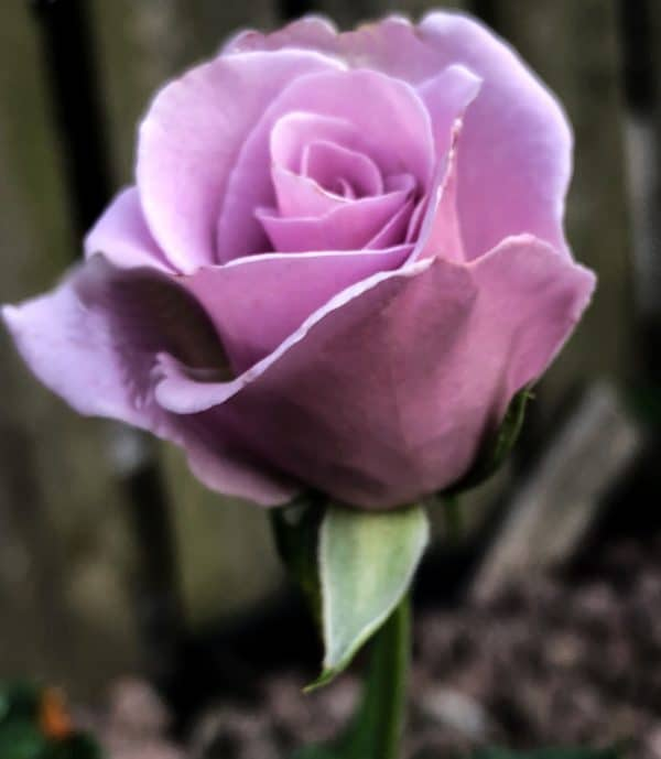 Angle face floribunda rose image.