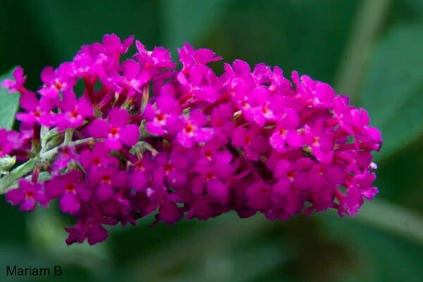 Butterfly bush flower image.