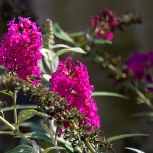 Butterfly bush flower image.