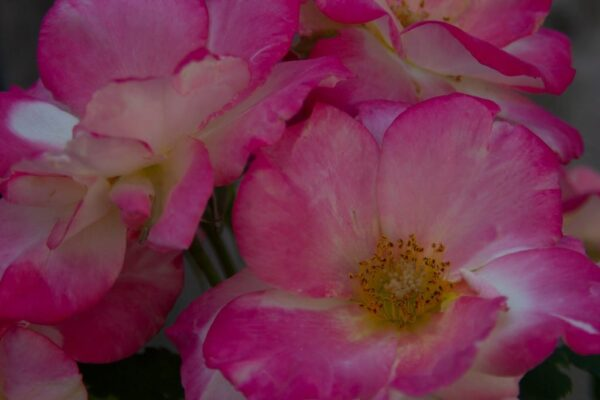 Double delight rose image.