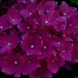 Pink hydrangea flower image.
