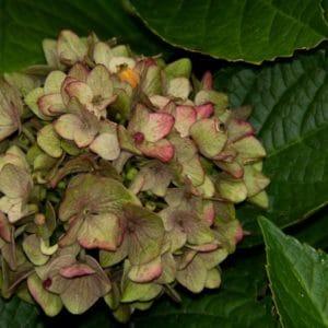 Hydrangea flower image.