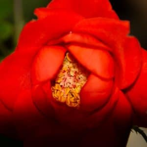 Tea rose image.
