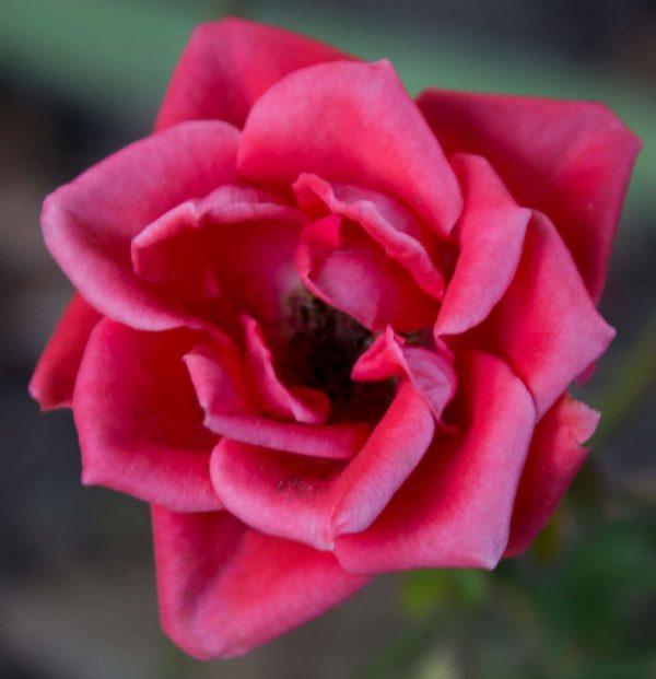 Lasting love rose image.