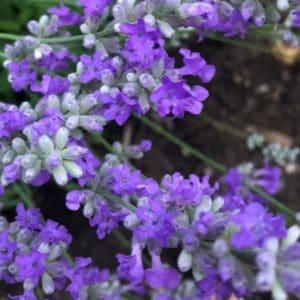 Lavender flower image.