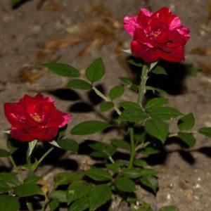 Miniature rosa mundi image.