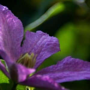 Purple clematis flower image.