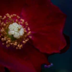 Rosa dusky maiden image.