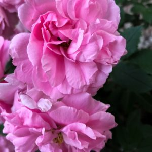 Caprice rose image.