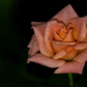 Warm wishes rose image.