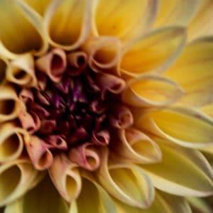 Dahlia flower image