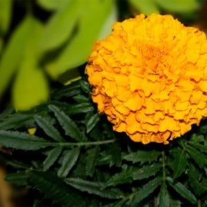 Marigold flower image
