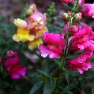 Snapdragon flower image