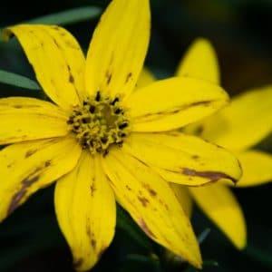 Tickseed Flower
