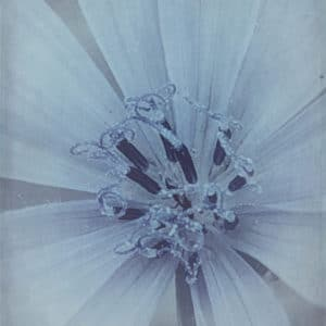 Chicory Flower