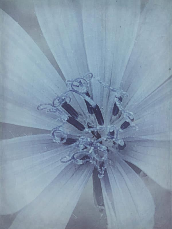 chicory_flower_filtered