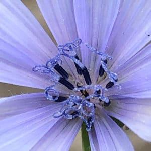 chicory_flower_original