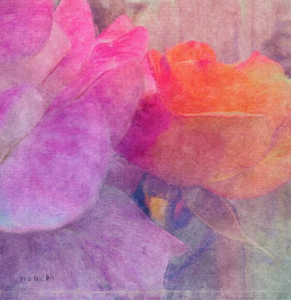 double_coloured_rose_artistic