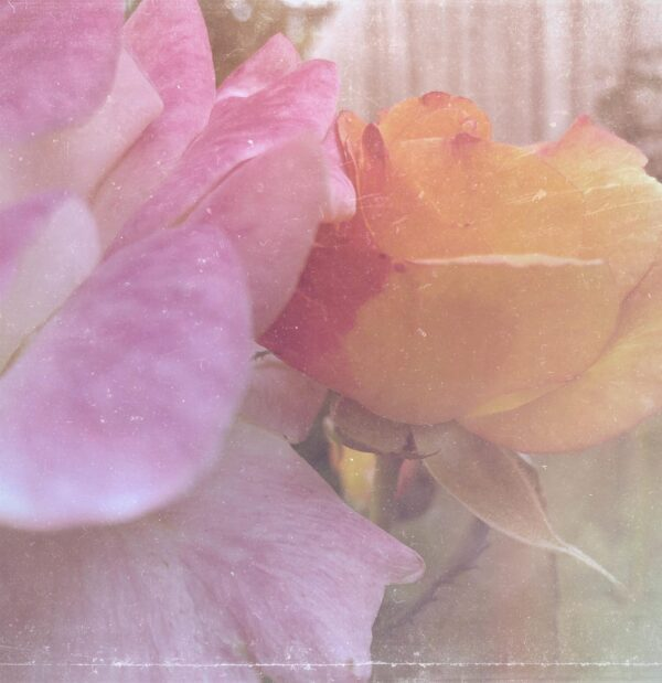 Vdouble_coloured_rose_filtered