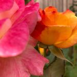 Double Coloured Rose #2217