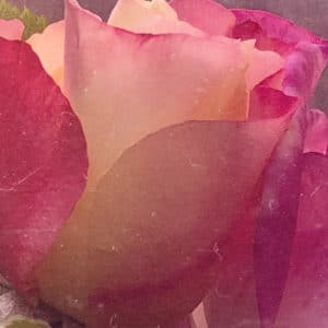 Mixed Colour Rose