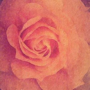 Peach Colour Rose artistic filter added.