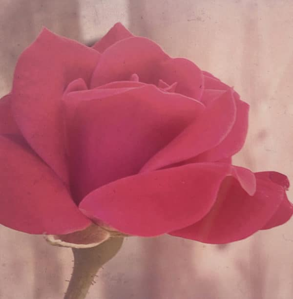 sweet_red_rose_filtered